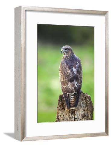 Common Buzzard-Colin Varndell-Framed Art Print