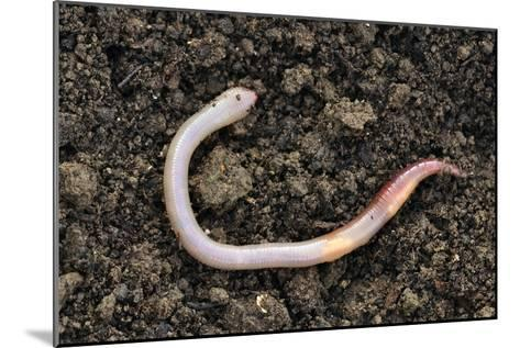 Common Earthworm-Colin Varndell-Mounted Photographic Print