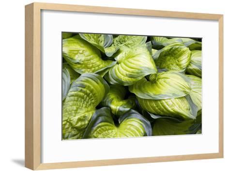 Hosta 'Stained Glass'-Adrian Thomas-Framed Art Print