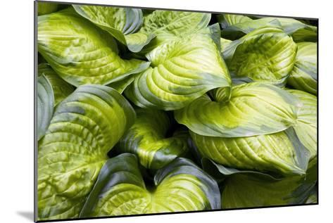 Hosta 'Stained Glass'-Adrian Thomas-Mounted Photographic Print