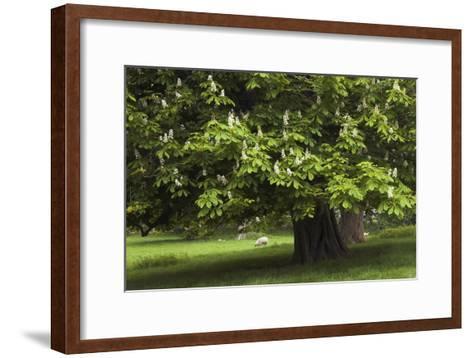 Horse Chestnut (Aesculus Hippocastanum)-Colin Varndell-Framed Art Print
