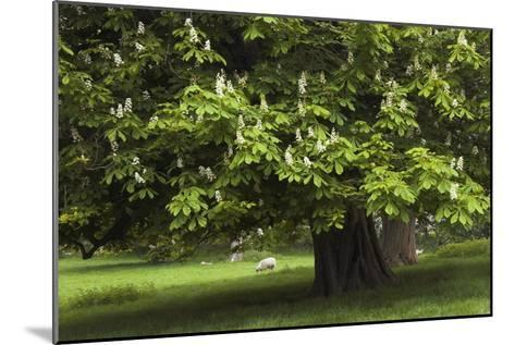 Horse Chestnut (Aesculus Hippocastanum)-Colin Varndell-Mounted Photographic Print
