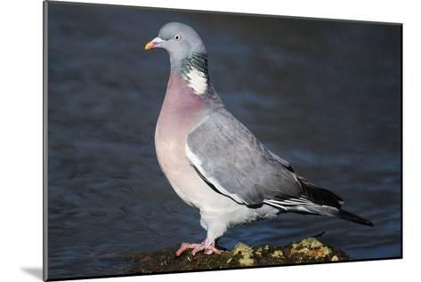 Wood Pigeon-Colin Varndell-Mounted Photographic Print