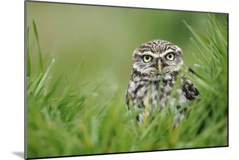 Little Owl-Colin Varndell-Mounted Photographic Print