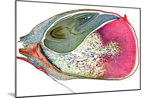 Maize Niblet, Light Micrograph-Dr. Keith Wheeler-Mounted Photographic Print