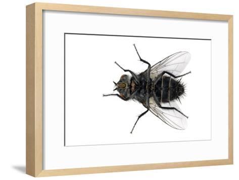 Parasitic Fly-Dr. Keith Wheeler-Framed Art Print