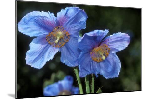 Himalayan Poppy (Meconopsis Grandis)-Dr. Keith Wheeler-Mounted Photographic Print