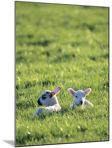 Lambs-Jeremy Walker-Mounted Photographic Print