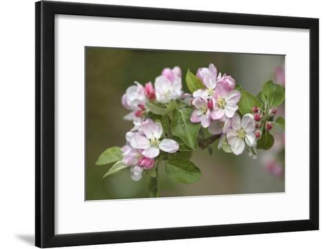 Apple Blossom (Malus X Domestica)-Dr. Keith Wheeler-Framed Art Print