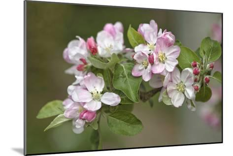 Apple Blossom (Malus X Domestica)-Dr. Keith Wheeler-Mounted Photographic Print