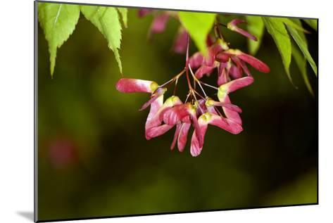Japanese Maple Seeds-Dr. Keith Wheeler-Mounted Photographic Print