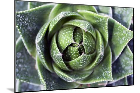 Aloe Plant (Aloe Aristata)-Dirk Wiersma-Mounted Photographic Print