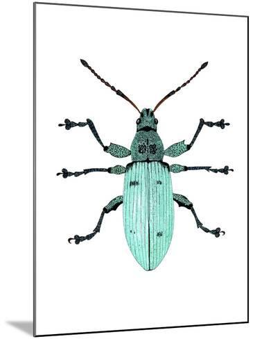 Nettle Weevil-Dr. Keith Wheeler-Mounted Photographic Print