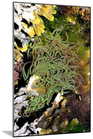 Snakelocks Anemone-Dr. Keith Wheeler-Mounted Photographic Print
