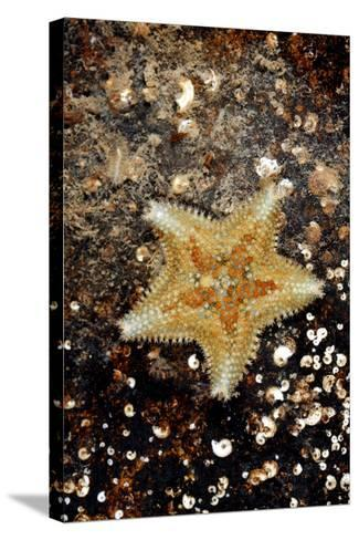 Cushion Starfish-Dr. Keith Wheeler-Stretched Canvas Print