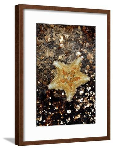 Cushion Starfish-Dr. Keith Wheeler-Framed Art Print