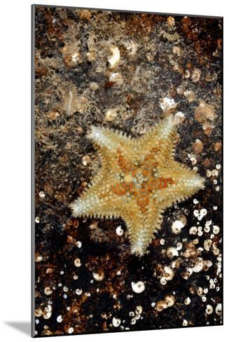 Cushion Starfish-Dr. Keith Wheeler-Mounted Photographic Print