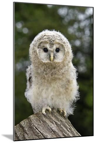 Young Ural Owl-Linda Wright-Mounted Photographic Print