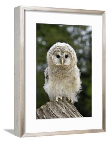 Young Ural Owl-Linda Wright-Framed Art Print