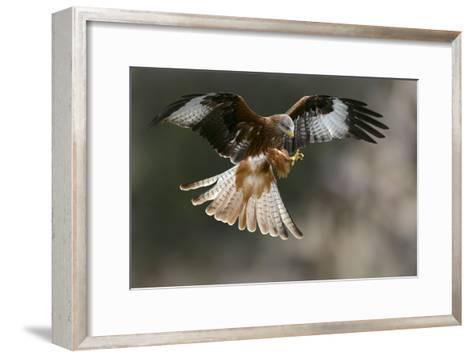 Red Kite-Linda Wright-Framed Art Print
