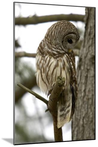 Barred Owl-Linda Wright-Mounted Photographic Print