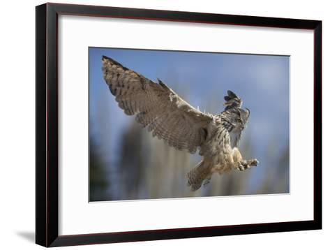European Eagle Owl In Flight-Linda Wright-Framed Art Print
