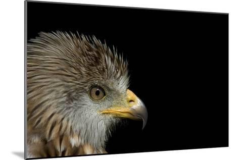 Red Kite-Linda Wright-Mounted Photographic Print
