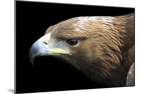 Golden Eagle-Linda Wright-Mounted Photographic Print