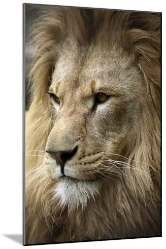 Lion-Linda Wright-Mounted Photographic Print