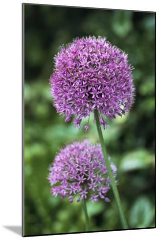 Ornamental Onion (Allium Aflatunense)-Archie Young-Mounted Photographic Print