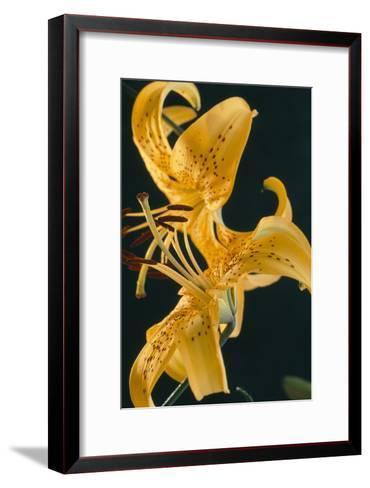 Tiger Lily Flowers-Archie Young-Framed Art Print