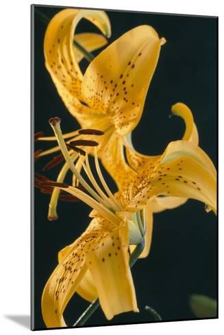 Tiger Lily Flowers-Archie Young-Mounted Photographic Print