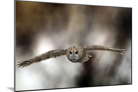 Tawny Owl-Linda Wright-Mounted Photographic Print
