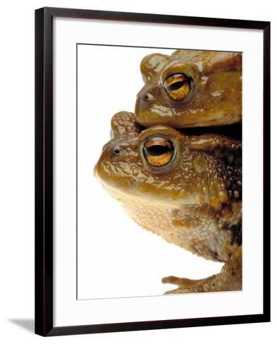 Two european toads-W^ Krecichwost-Framed Art Print