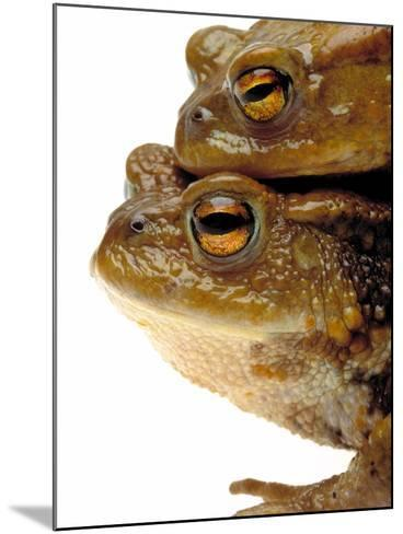 Two european toads-W^ Krecichwost-Mounted Photographic Print