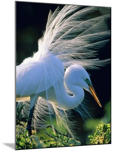 Great egret-Theo Allofs-Mounted Photographic Print