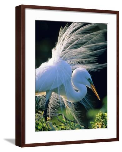 Great egret-Theo Allofs-Framed Art Print