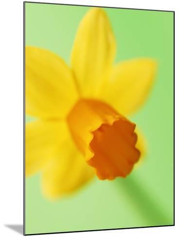 Yellow daffodil--Mounted Photographic Print