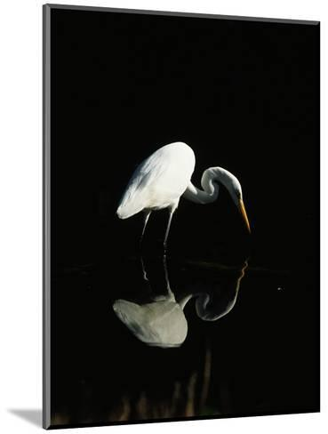 Great Egret-Nik Wheeler-Mounted Photographic Print