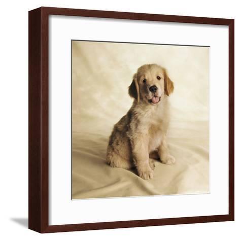 Golden Retriever Puppy-Christopher C Collins-Framed Art Print