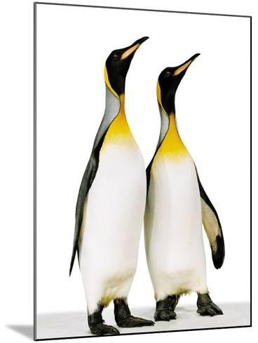 Two king penguins-Josh Westrich-Mounted Photographic Print