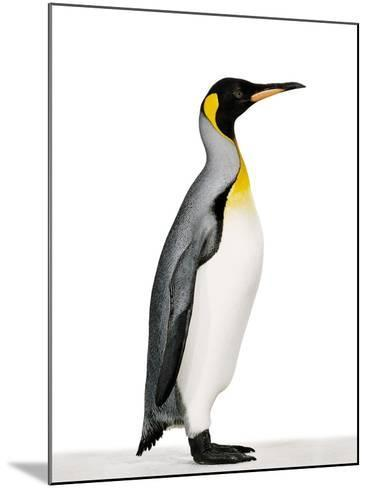 King penguin-Josh Westrich-Mounted Photographic Print