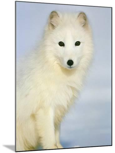 Polar fox sitting in the snow-Theo Allofs-Mounted Photographic Print