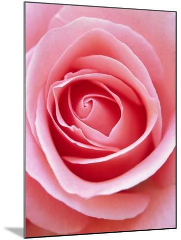 Pink rose-Herbert Kehrer-Mounted Photographic Print