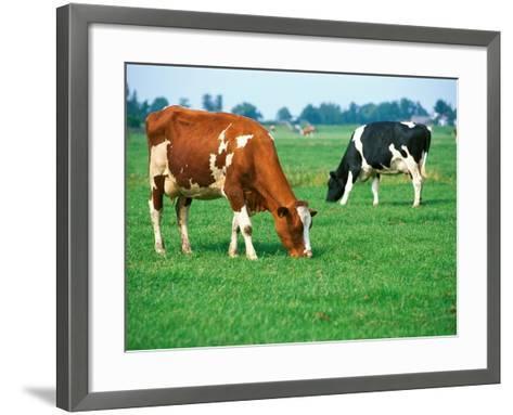 Cows on pasture--Framed Art Print