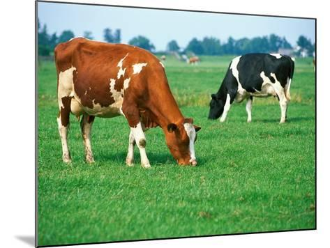 Cows on pasture--Mounted Photographic Print