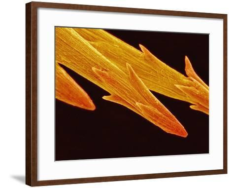 Spine Tip of Cholla Cactus-Micro Discovery-Framed Art Print
