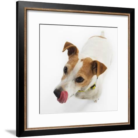 Jack Russell Terrier-Russell Glenister-Framed Art Print