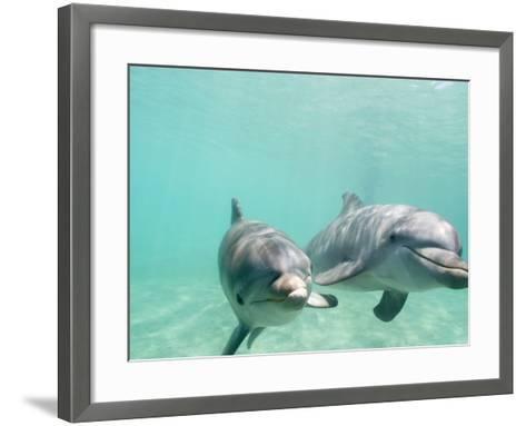 Bottlenose Dolphins-Stuart Westmorland-Framed Art Print
