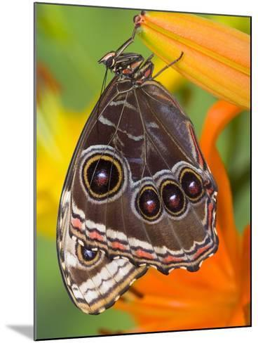 Blue Morpho Resting on an Orange Asiatic Lily-Darrell Gulin-Mounted Photographic Print